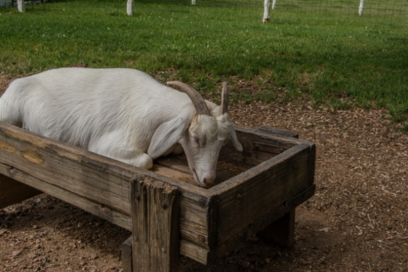 Hungry Goat at LBJ Ranch
