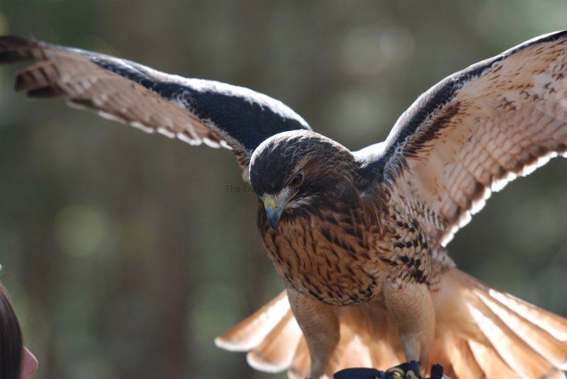 Red Tail Hawk?