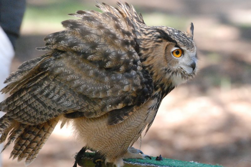 Eurasian Eagle Owl?