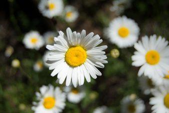Daisys Near Toketee Falls