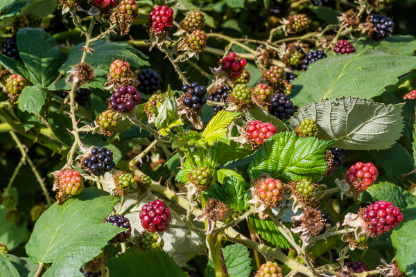 Oregon Wild Blackberries