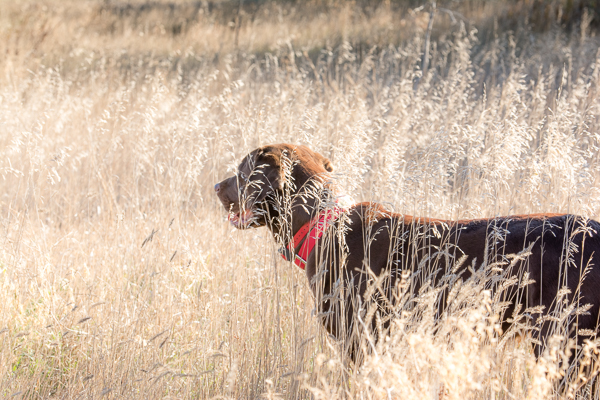 Sadie on Pheasant Hunt