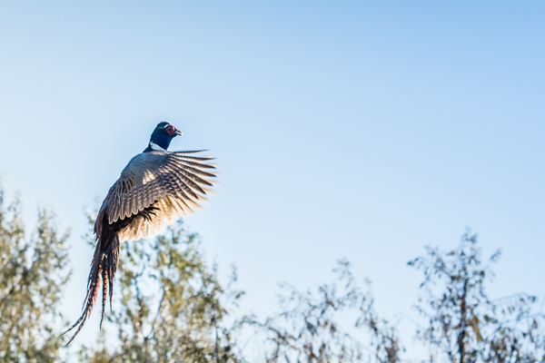 Pheasant takes flight