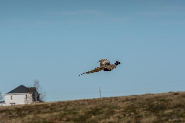 Pheasant Hunt Escapee