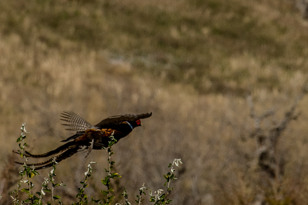Pheasant LIfting Off