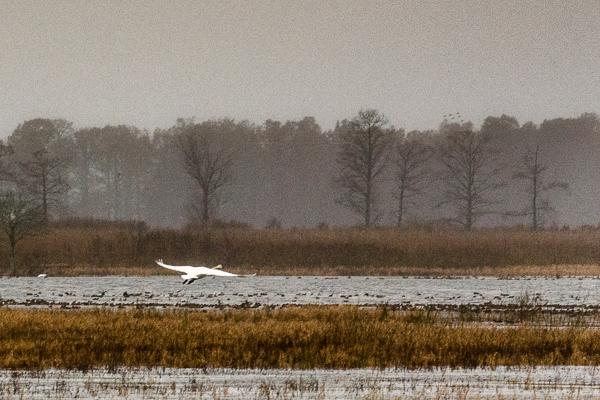 Brave Swan Airborne in Mist