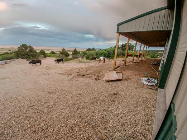 Wandering Cows