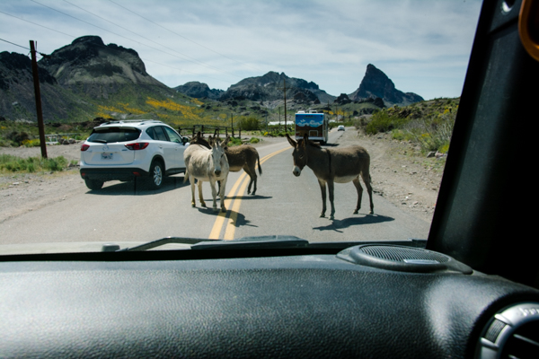 In Oatman, burros have the right of way and they know it!
