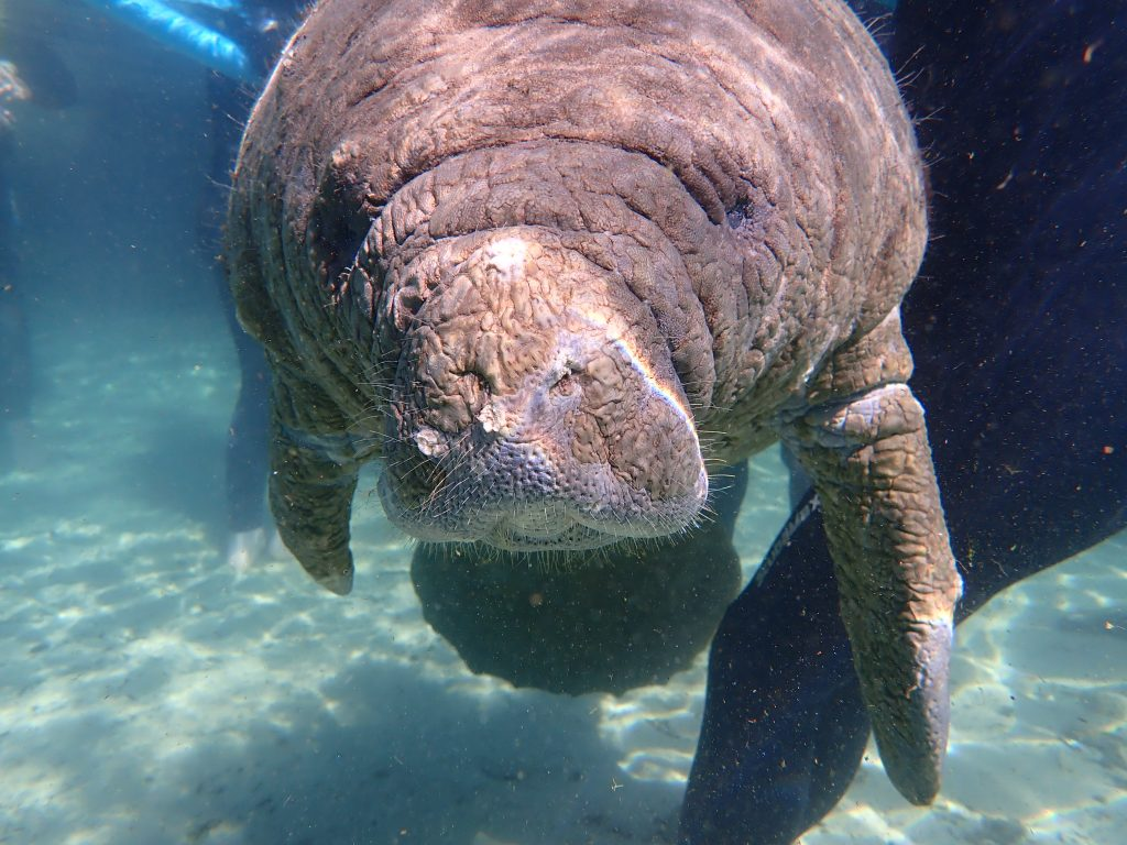 Our Boat Guide took this photo - Manatee were all around us on this trip!