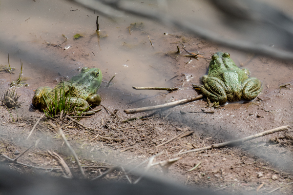 These frogs refused to jump.