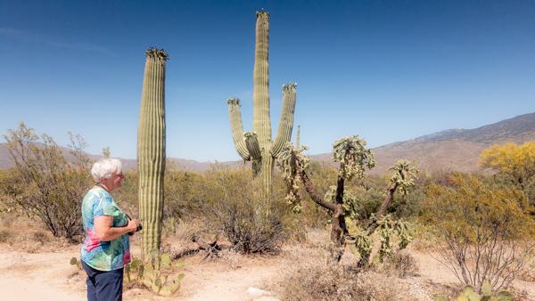 Jane admires some blooming Suguaros