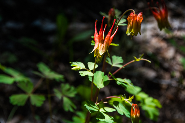 I think this is a form of Columbine