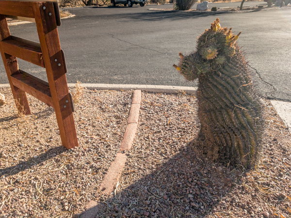 Puppy Dog shaped cactus at entrance to Catalina State Park.