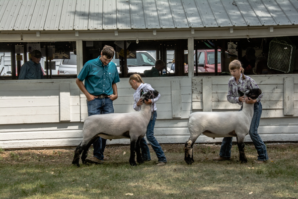Judging of the lambs
